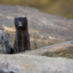 neugieriger Otter